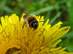 Bee on Dandelion (Joe Parrilla) Tags: flower macro canon dandelion bee maidenhead natureplus canonsx50