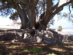 The fig tree (agaiz) Tags: 2005 santabarbara