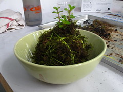kokedama 0830 (sugar-cookie) Tags: garden georgia diy moss succulent grow craft athens treehouse crafty kokedama craftparty mossball gardenmoss treehousekidandcraft