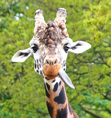 Thoughtful Giraffe (sunbeem) Tags: animal present giraffe knowsleysafaripark malegiraffe mygearandme mygearandmepremium mygearandmebronze