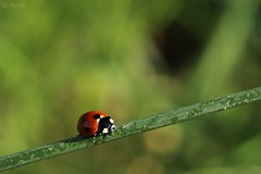Hold On Tight... (Marki1988) Tags: red plant macro green nature canon germany insect deutschland eos ngc ladybug rheinlandpfalz ingelheim 600d