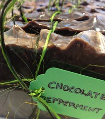 Chocolate - Peppermint Soap (Sage.soap) Tags: soap handmade chocolate homemade oliveoil artisan coldprocess