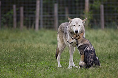 Howling Woods Wolf Farm (Christopher_William) Tags: rescue nature animal newjersey wolf outdoor farm nj jackson preserve oceancounty nonprofit wolfdog howlingwoodswolffarm
