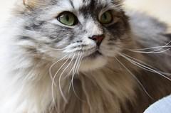 image (blahdyblah) Tags: green cat grey nikon gray whiskers greeneyes siberian monty catseyes d7000