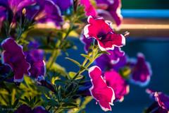 Blumen-100ND700-Nikon-2 (irisisopen f/8 >3Mio) Tags: digital nikon d pflanzen blumen motive 700 blte farbe farben blumentopf blten balkone badenwrttemberg waiblingen d700