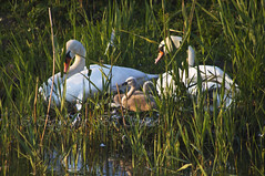 At home with the kids (Through Bri`s Lens) Tags: light baby lake nature sussex worthing swan cygnet protected canon90300 canon7d