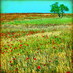 a-flutter with poppies (1crzqbn) Tags: flowers red sunlight color tree grass square landscape one bokeh textures poppies hss 1crzqbn sliderssunday galleryoffantasticshots aflutterwithpoppies