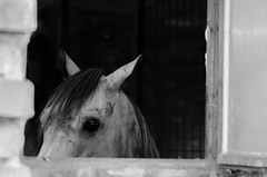 The eye is the window to the soul. (David Doua) Tags: bw horse white black eye window animal wall mono countryside eyes nikon focus sad head country explore soul czechrepublic stable stalls mane stables morava explored d7000
