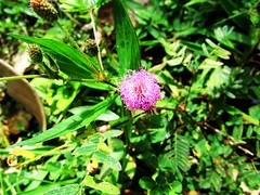Pohon semalu (MohamadHafizLimbah) Tags: pink green nature fresh malaysia sabah kota humble hijau alam hafiz pohon belud sekitar semalu