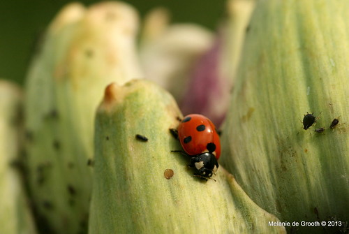 Ladybird and Aphid Family