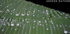 raindrops (asheshr) Tags: india macro green water leaves rain leaf nikon waterdrop bokeh raindrops waterdrops orissa rains cuttack raindropsonleaves waterdropsmacro odisha d5100