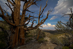 Some of the oldest living things on the planet...Bristlecone Pines...some are over 4500 years old! (Serrator) Tags: california summer sky mountains tree beautiful pine forest living ancient shaped hike tortured twisted oldest bristlecone contorted