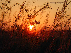 embracing the light (mariola aga) Tags: park flowers light sunset summer sun nature grass backlight meadow coolpix thegalaxy