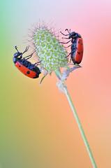 The Twins (Javier_Lpez) Tags: wild naturaleza insectos color macro planta nature rio flora nikon julio papel tamron javier 90 fondo elx elche mariola macrofotografa lpez salvaje banyeresdemariola banyeres vina