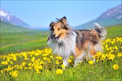 Man's Best Friend (Ji Gunnar) Tags: flowers blue summer portrait dog sun green colors field weather yellow out happy fly nikon focus good sheepdog nikkor depth shetland hundur d300 ma 175528