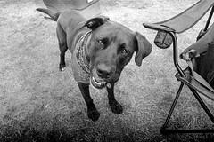 Dog (Rubin Starset) Tags: blackandwhite dog film 35mm us blackwhite washington unitedstates iso400 hp5 hackers ilford neahbay hp5plus hacklab blackandwhitefilm printfilm blackwhitefilm film:iso=400 camera:make=canon geo:state=washington exif:make=canon film:brand=ilford hackerspace hackerlab noisebridge hackspace film:format=35mm toorcamp film:tag=hp5 film:type=bwprint geo:countrys=unitedstates makershop geo:city=neahbay exif:model=eoselan7n camera:model=eoselan7n peoplesrepublicofnosebridge geo:lat=48339708333333 geo:lon=12466523611111