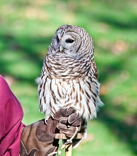 Barred Owl (Strix varia) at Woodland Park Zoo (2)