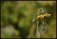 Ashamed sunflower (Zyla, K. alone) Tags: flowers autumn nature landscape poland polska backyardgarden jesie wysowa thebp justpentax vivitar20035 pentaxart pentaxkr