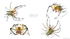 Mighty Male (zxgirl) Tags: bug bugs spider spiders animal animals animalia arthropod arthropods arthropoda chelicerate chelicerates chelicerata arachnid arachnids arachnida araneae araneomorphae entelegynes jumpingspider jumpingspiders salticidae salticid lyssomaninae translucentgreenjumper translucentgreenjumpers lyssomanes magnoliagreenjumper lyssomanesviridis taxonomy:binomial=lyssomanesviridis awesome onwhite s5 flash raynox dcr250 male labeled composite multishot