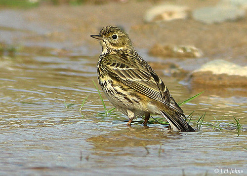 "Meadow Pipit (J H Johns) • <a style=""font-size:0.8em;"" href=""https://www.flickr.com/photos/30837261@N07/10723253643/"" target=""_blank"">View on Flickr</a>"