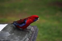 The little Rosella (Minna Davis) Tags: cold bird wind australian parrot bin rosella wheeliebin breadcrumb crimsonrosella