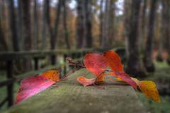 Fallen Autumn (Lane Rushing) Tags: bridge autumn trees fall leaves shallowdof d600 cypressswamp natcheztraceparkway herowinner kanchenjungachallengewinner rossbarnettereservoir mile122
