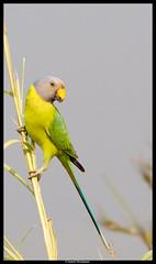 Plum Headed Parakeet (Suresh Shivdasani) Tags: plum parakeet headed vision:outdoor=0575 vision:plant=0688