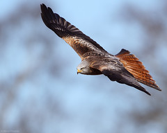 Red Kite (Marco Pesaresi) Tags: bird nature canon wildlife raptor soaring naturephotography redkite birdinflight birdphotography wildbird wildlifephotography 2013 700mm wildkite marcopesaresi 2013bird marcopesaresicom vision:mountain=053 vision:sky=0609 vision:outdoor=0741