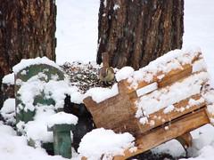 Even The Wren Came Out (mcnod) Tags: snow december wren wheelbarrow ferndale carolinawren 2013 mcnod stumpfeeder