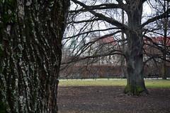 Planty (Jacek P.) Tags: tree poland krakw beech buk planty krakoff