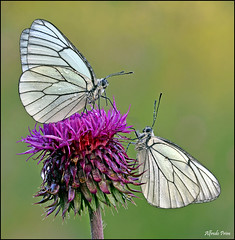 Aporia crataegi (Explore) (alfvet) Tags: macro nikon ngc butterflies natura npc insetti farfalle sigma150 parcodelticino veterinarifotografi d5100