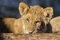 sunny (the-father) Tags: baby lion blinkagain bestofblinkwinners blinksuperstars