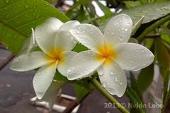 (neidelobo) Tags: branco flor suavidade neidelobo