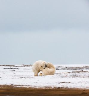 Polar Bear Gaining the Advantage