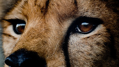 Focused (noblerzen) Tags: cheetah sylvester elephantcamp zimbabwe nikon d500 africa