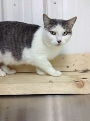 Shannon - 2 year old spayed female