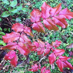 These bright red leaves caught my eye and I trekked thru a bit of slippery mud to get to them. Worth it. (tiina2eyes) Tags: these bright red leaves caught eye i trekked thru bit slippery mud get them worth it ifttt instagram