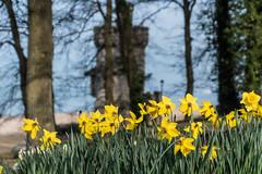 DSE_9223.jpg (alfiow) Tags: appley appleytower daff daffodil daffodils
