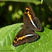 Adelpha olynthia (LPJC) Tags: butterfly manu peru 2016 lpjc cockoftherocklodge adelphaolynthia