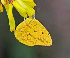 EC17--12064a (jerryoldenettel) Tags: 170302 2017 cloudlesssulphur coliadinae copalingalodge ecuador phoebis phoebissennaemarcellina pieridae butterfly insect sulphur