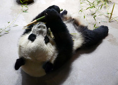 Bei Bei 2017-02-06 at 12.13 PM (MyFoto:)) Tags: panda cub vulnerable beibei mammals giantpanda ailuropoda melanoleuca smithsonian nationalzoo nature conservationdependent wildlife zoologicalgardens washington dc eating bamboo animalplanet