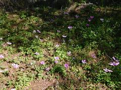 Ανεμώνες Υμηττού (Anna Voulgari) Tags: ymittos spring athens greece terra attica