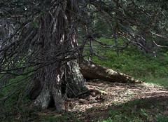 14-IMG_8404 (hemingwayfoto) Tags: österreich austria baum europa fichte hohetauern nationalpark natur naturschutzgebiet rauris rauriserurwald reise tannenbaum urwald wald