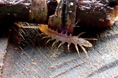 Symphylan? (Bugldy99) Tags: arthropod animal arthropoda myriapod myriapoda symphylan