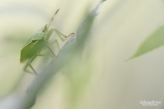 Cocktail végétarien - Vegetarian cocktail (Solange B) Tags: punaise bug stylet gaine rostre sève sap feuille leaf insecte insect macro nikon d800 105mm solangeb solangebelon