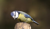 Hello. (Bishopsfarewell1) Tags: elements blue tits nature canon wow wowl2 greaterphotographers allnaturesparadise