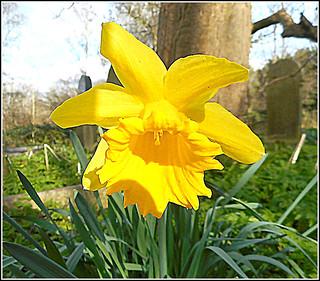 Solitary Daffodil.