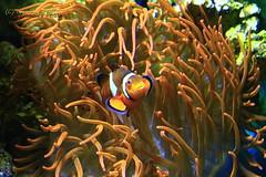 Clown Anemonefish - Falscher Clownfisch (Noodles Photo) Tags: clownanemonefish falscherclownfisch zoocologne cologne kölnerzoo köln kölneraquarium aquariumcologne amphiprionocellaris canoneos7d ef24105mmf4lisusm