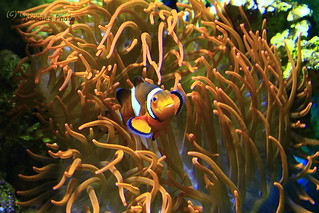 Clown Anemonefish - Falscher Clownfisch