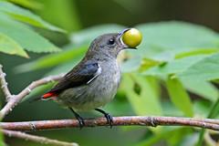 Scarlet-backed Flowerpeckers (Dicaeum cruentatum) (Tan TS) Tags: sbwr d7100 200500mmf56 handheld